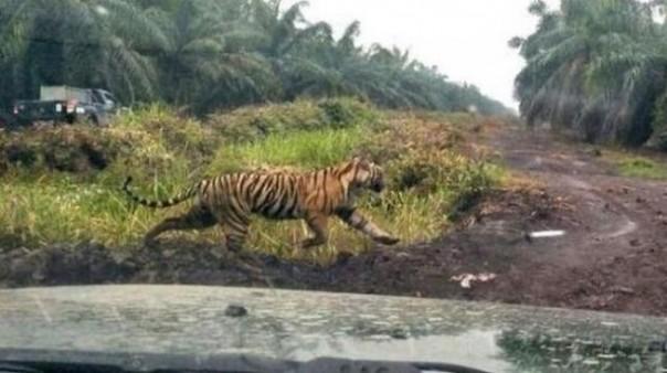 Harimau Bonita yang sempat membuat warga Indragiri Hilir jadi geger beberapa waktu lalu. Foto: int