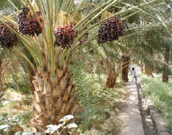Kurma Ajwa atau Kurma Nabi yang tumbuh di Kota Madinah, Arab Saudi.. Foto: int
