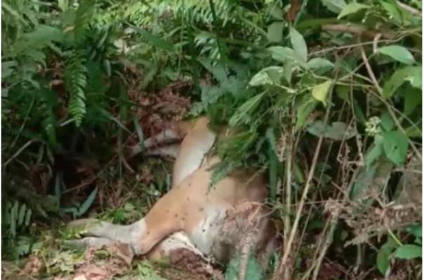 Sapi milik warga yang ditemukan dalam kondisi mati, diduga menjadi korban penerkaman harimau. Foto: int