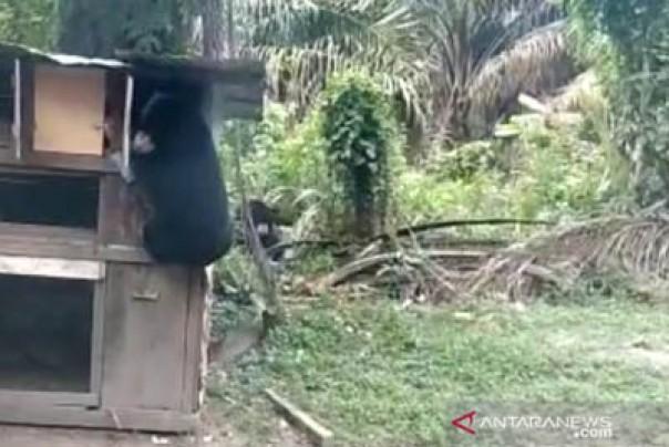 Dua ekor beruang terlihat berada di Kandang Ayam warga Kampung Sengkemang Kecamatan Kotogasib Kabupaten Siak./ant