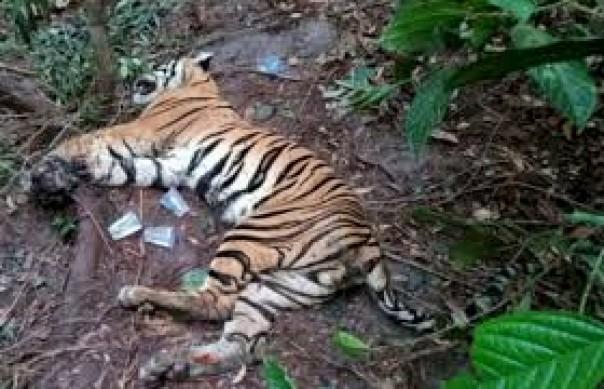 Kondisi bangkai harimau Sumatera (Panthera tigris sumatrae) yang ditemukan mati (ilustrasi)/int