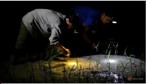 Para petani menanam padi di sawah pada pagi hari untuk menghindari panas di Hanoi, Vietnam 25 Juni 2020.(FOTO/ REUTERS )