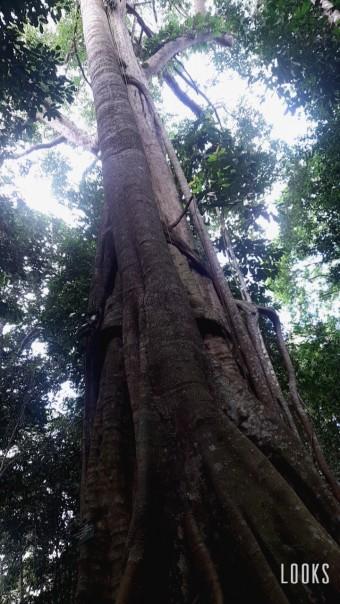 Hutan Imbho Putui yang berlokasi di Desa Petapahan, Kecamatan Tapung, Kabupaten Kampar, Riau. Hutan ini dibelah oleh perusahaan sawit dan memiliki pohon kayu raksasa berumur 100  tahunan dan menyimpan banyak plasma nutfah.(FOTO/SRc)