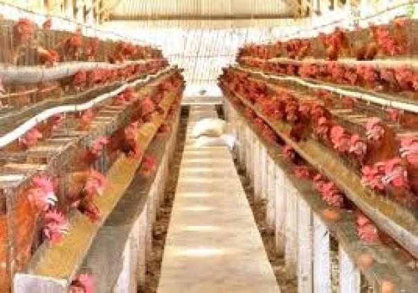 Ilustrasi peternakan ayam.(Foto: Ditjen PKH-Kemneterian Pertanian RI)